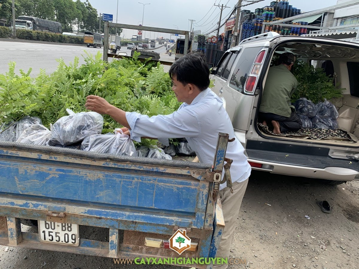Cây Muồng Hoa Đào, Vườn ươm Cây Xanh Gia Nguyễn, Cây giống, Cây Giống Muồng Hoa Đào, Muồng Hoa Đào