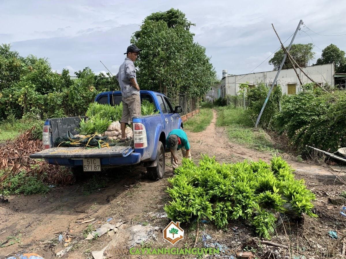 Cây Keo Lai, Công ty Cây Xanh Gia Nguyễn, Cây Giống Keo Lai, Vườn ươm Cây Xanh Gia Nguyễn, Trồng Cây Keo Lai
