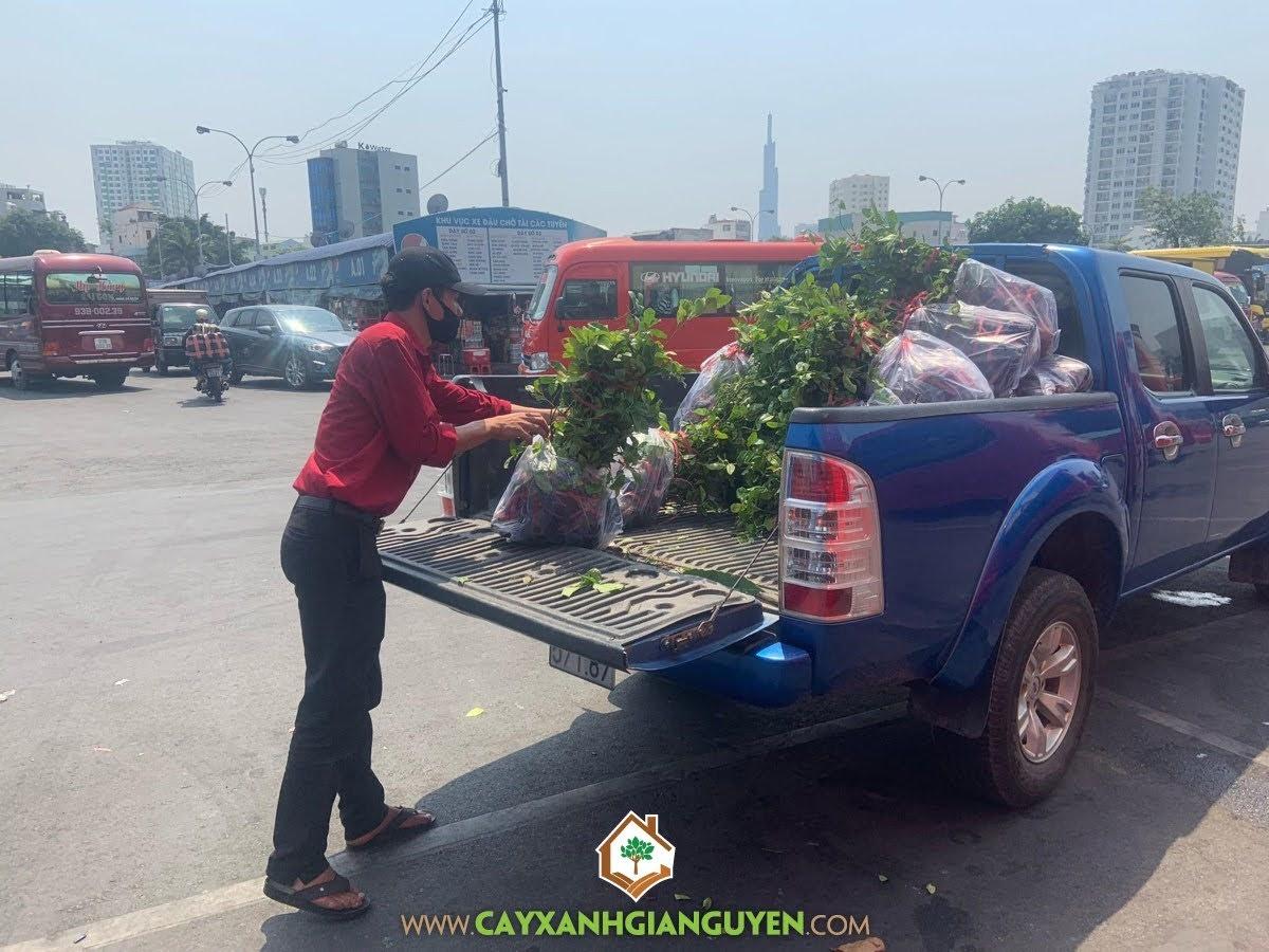 Cây Chanh Bông Tím, Trồng Cây Chanh Bông Tím, Cây Xanh Gia Nguyễn, Chanh Bông Tím, Giống Cây