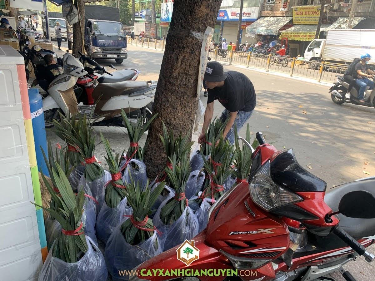 Cây Kè Bạc, Cây Xanh Gia Nguyễn, Trồng Cây Kè Bạc, Giống Cây Trồng, Cây giống, Công ty Cây Xanh Gia Nguyễn