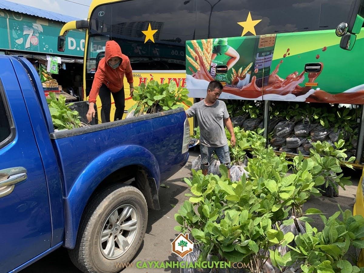 Cây Điều, Cây Điều AB05-08, Cây Xanh Gia Nguyễn, Vườn ươm tỉnh Bình Phước, Giống Điều AB05-08