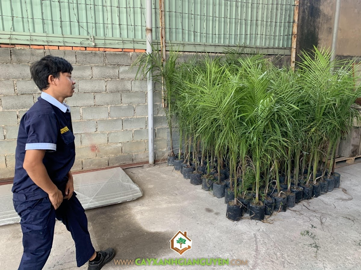 Cây Xanh Gia Nguyễn, Cây Cau Vua, Giống Cây Cảnh, Cây Giống Cau Vua, Cau Vua, Vườn ươm tỉnh Bình Phước