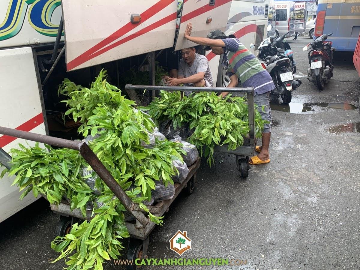 Cây Dó Bầu, Cây Xanh Gia Nguyễn, Cây Gỗ Quý, Cây Giống Dó Bầu, Cây Dó Bầu Giống, Dó Bầu