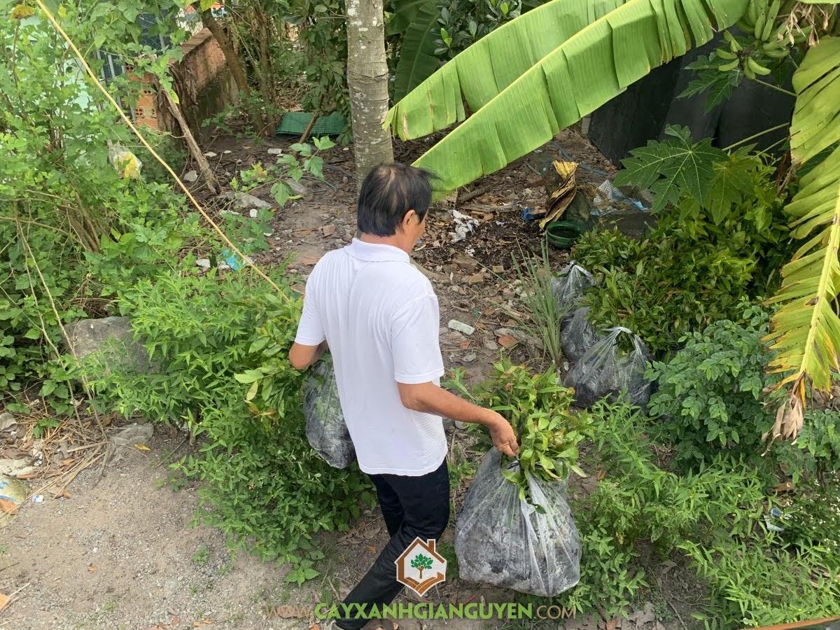 Cây Mai Vàng, Cây Xanh Gia Nguyễn, Mai Vàng, Công ty Cây Xanh Gia Nguyễn, Cây Mai
