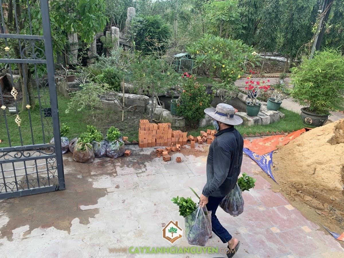 Cây Ắc Ó, Cây Cảnh phong thủy, Cây Xanh Gia Nguyễn, Cây Ắc Ó để trồng làm hàng rào, Cây Hắc Ó