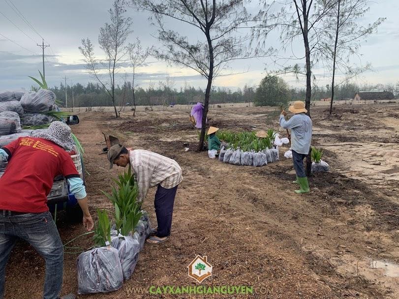 Cây Dừa Xiêm Lùn Xanh, Cây Dừa Dâu, Cây Xanh Gia Nguyễn, Resort HoDoTa, Cây Dừa, Cây Xà Cừ