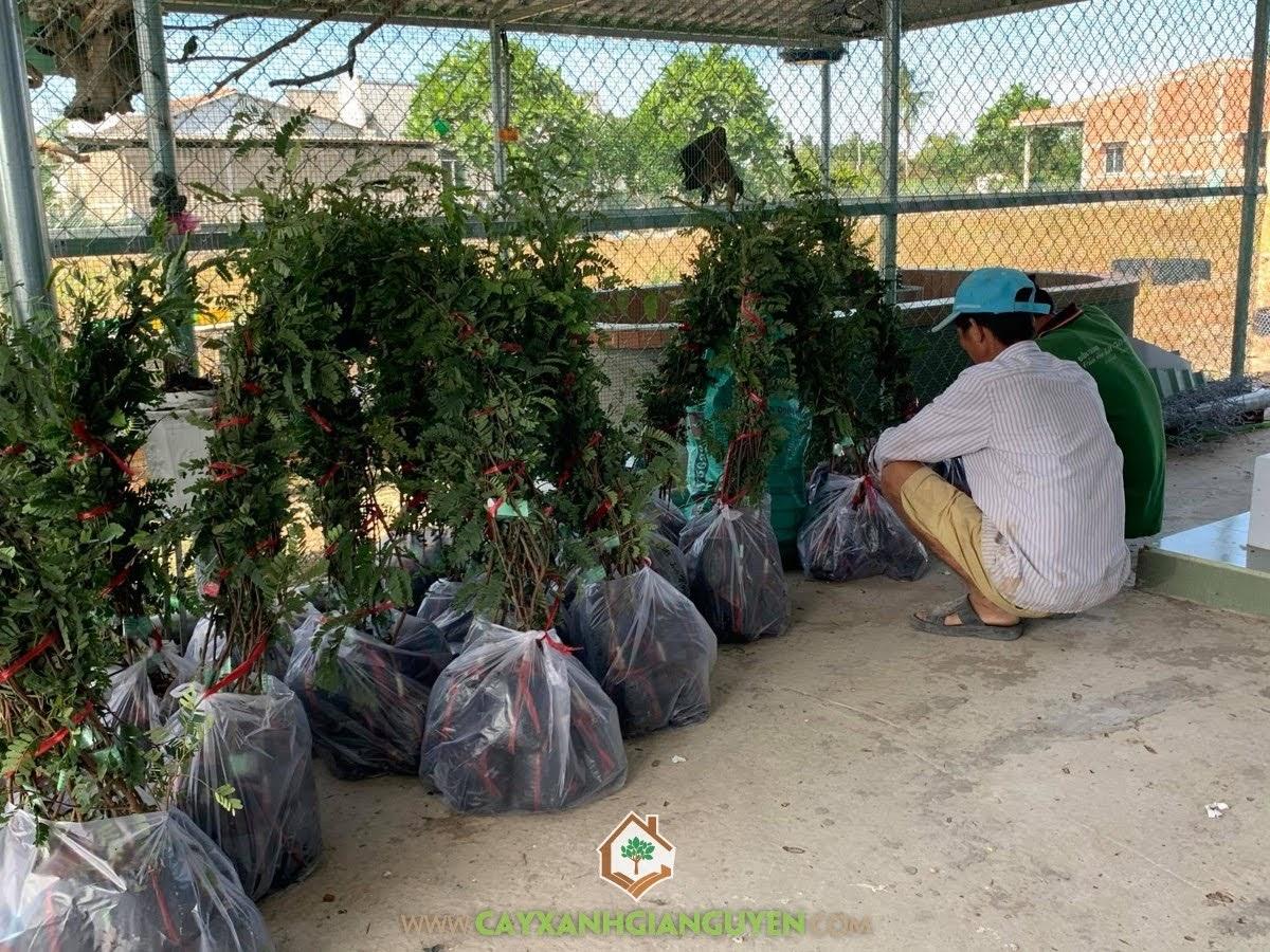 Cây Me Thái Giống, Cây Xanh Gia Nguyễn, Cây Me Thái, trồng Me Thái, Huyện Châu Thành, tỉnh Long An