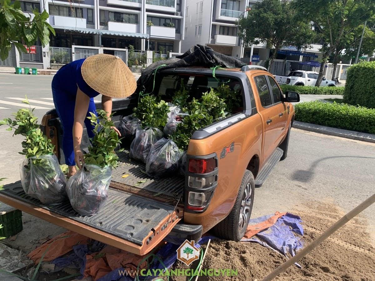 Cây Chanh Bông Tím, Cây Xanh Gia Nguyễn, trồng Cây Chanh, cung cấp Cây Chanh Bông Tím, Tìm hiểu về Cây Chanh Bông Tím