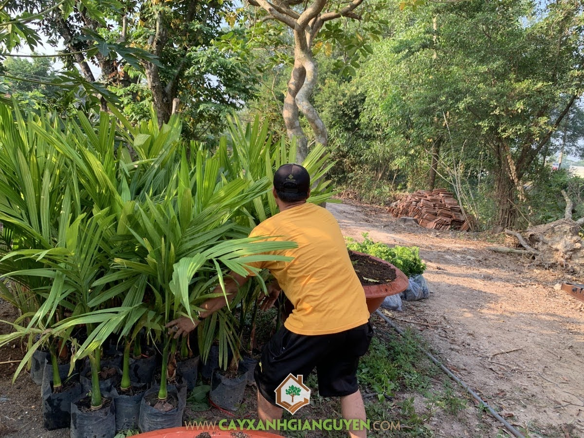 Cây Cau Ăn Trầu, Cây Xanh Gia Nguyễn, Quả Cau, lá trầu, trồng Cây Cau Ăn Trầu, Cây Cau Giống