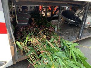 cây Tre Điền, Trồng cây Tre Điền, Cây Xanh Gia Nguyễn, trồng Tre Điền, Tre Điền lấy măng, Măng tre điền