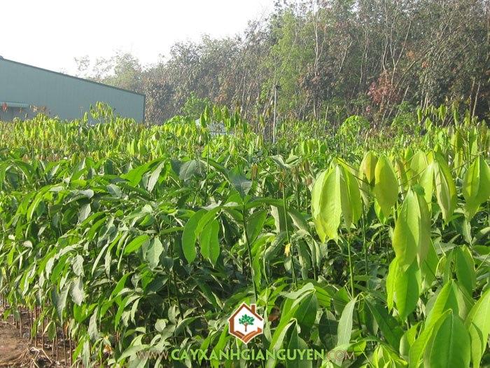 cây công nghiệp, cây cao su, cao su thiên nhiên, mủ cao su, đồn điền cao su, diện tích đất trồng cao su