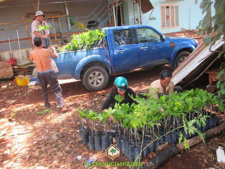 cây xanh gia nguyễn, cung cấp cây điều, cây điều giống, cây xanh, cây xanh gia nguyễn cung cấp điều giống