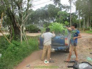 Công ty cây xanh Gia Nguyễn, cây gáo vàng, cây giống, cách trồng và chăm sóc cây, cung cấp cây giống