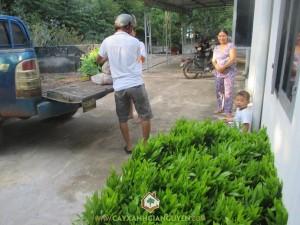 Công ty cây xanh Gia Nguyễn, cây keo lai, cây giống lâm nghiệp, cây giống, chăm sóc