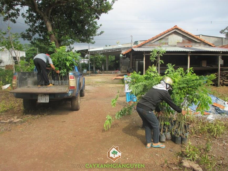 Cây xanh Gia Nguyễn, cây sưa, cây giống lâm nghiệp, cây xanh, cung cấp cây giống