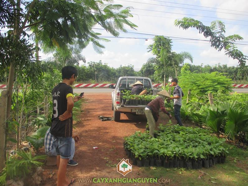 Công ty cây xanh Gia Nguyễn, Cây giá tỵ, Gỗ giá tỵ, Cung cấp cây giống, Cung cấp gỗ giá tỵ