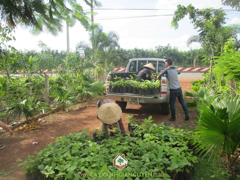 Cây xanh Gia Nguyễn, Cây sưa đỏ, Cây giá tỵ, Giống cây lâm nghiệp, Gỗ giá tỵ