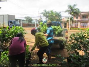 Công ty cây xanh Gia Nguyễn, cây giống, cung cấp cây giống, cây điều giống, cây giống lâm nghiệp