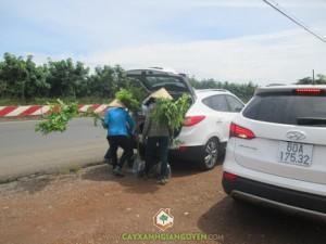 Cây xanh Gia Nguyễn, Cây giống sưa đỏ, Gỗ cây sưa đỏ, Cây sưa đỏ, Cây giống lâm nghiệp