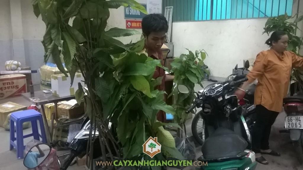 Cây xanh Gia Nguyễn, Cây dầu rái, Quả dầu rái, Lá cầu dầu rái, Cây giống Gia Nguyễn