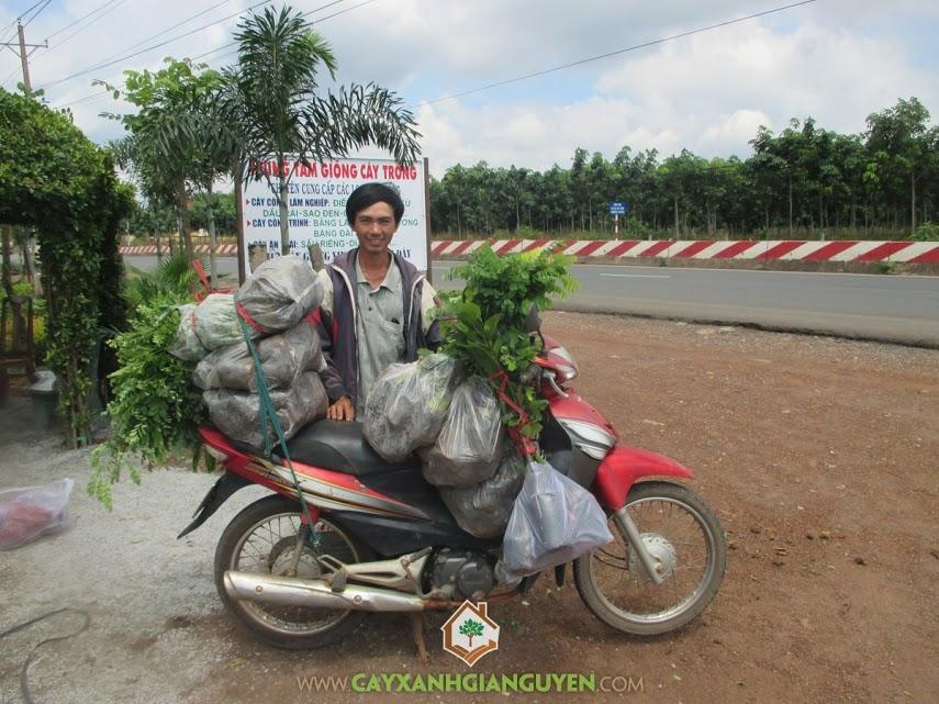 Cây xanh Gia Nguyễn, Cây đinh lăng, Cây cẩm lai, Cây mít, Giống mít thái lá bàng