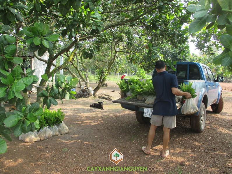 Công ty cây xanh Gia Nguyễn, Cây keo lai, keo lai giống, Keo tai tượng, Tràm bông vàng