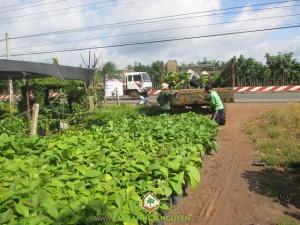Cây xanh Gia Nguyễn, Cây giá tỵ, Cây giống, Công ty cây xanh Gia Nguyễn, Cung cấp cây giống