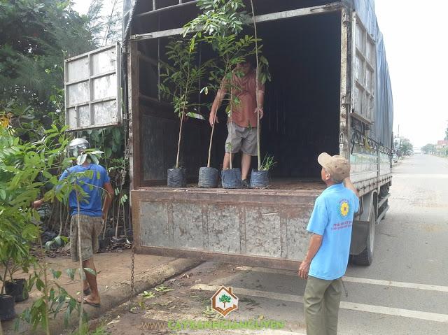 Công ty cây xanh Gia Nguyễn, Cây xà cừ, Sao đen,Sưa đỏ, Đơn đặt hàng cây sưa đỏ