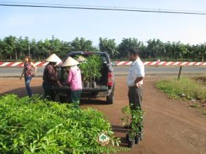 Công ty cây xanh Gia Nguyễn, Cây xà cừ, Sao đen, Gỗ sao đen, Cây xanh Gia Nguyễn