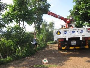 Công ty cây xanh Gia Nguyễn, Cây tha la, Sò đo cam, Osaka vàng, Cung cấp cây giống