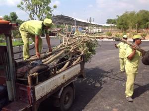 Công ty cây xanh Gia Nguyễn, Cây chuông vàng, Cây xanh, Cây bông giấy, Hoa chuông vàng
