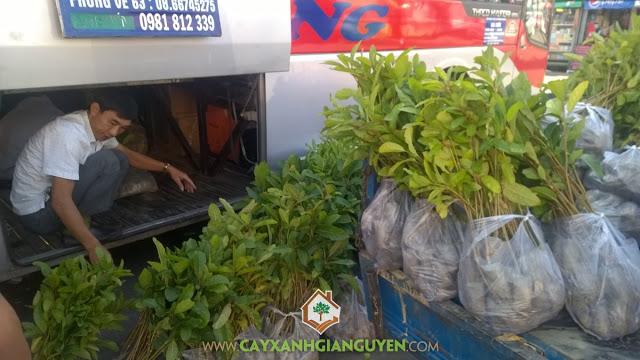 Công ty cây xanh Gia Nguyễn, Cây gáo vàng, Vườn ươm tỉnh Bình Phước, Gỗ của cây gáo vàng, Cây bóng mát