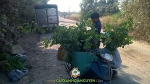 Cây gáo vàng, Cây gỗ trắc, Công ty Cây Xanh Gia Nguyễn, Cây bạc tỉ, Cây lâm nghiệp