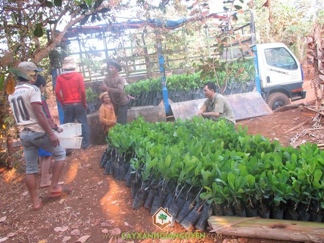 Cây Xanh Gia Nguyễn, Vườn ươm tỉnh Bình Phước, Giống điều Thái Lan AB 05 - 08, Giống Điều, Quy mô trồng Điều