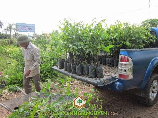Công ty Cây Xanh Gia Nguyễn, Cây giống, Mua cây giống, Mua cây từ vườn ươm, Cây Xanh Gia Nguyễn