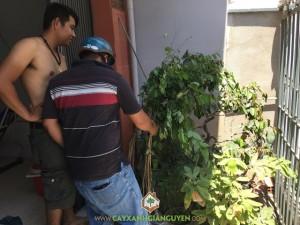 Cây Gỗ Trắc, Công ty Gia Nguyễn, Cách trồng và chăm sóc cây, Cây Trắc đỏ, Cây giống trắc vàng