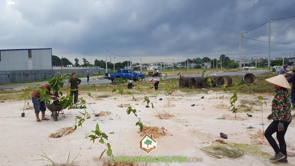 Cây Dầu Rái, Cây Xanh Gia Nguyễn, Nhựa cây Dầu Rái, Cây cảnh quan, Cây bóng mát