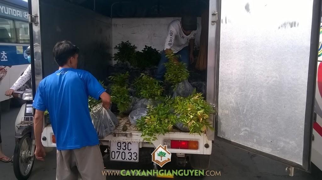Vườn ươm Cây Xanh Gia Nguyễn, Cây Lát Hoa, Cây giống, Chăm sóc cây giống, Cây Lâm Nghiệp