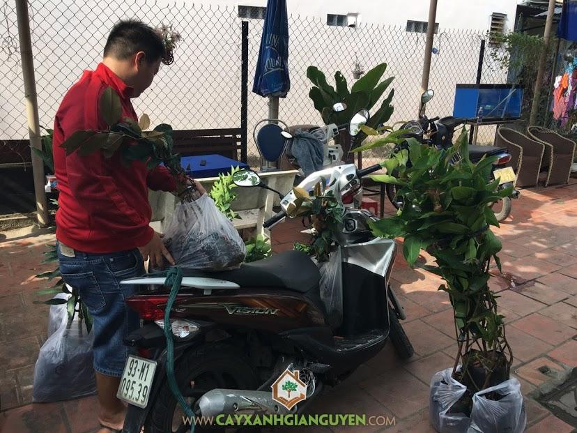 Cây ăn trái, Vườn ươm Cây Xanh Gia Nguyễn, Cách trồng và chăm sóc cây, Cây Vú sữa Lò Rèn, Cây bưởi da xanh, Cây cam sành