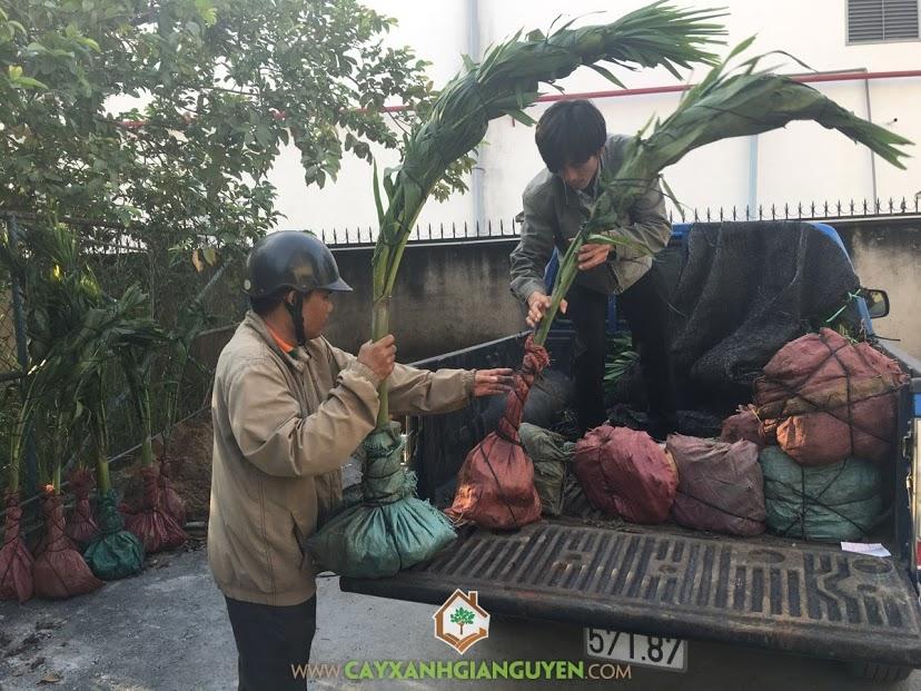 Vườn ươm Gia Nguyễn, Cây cau trắng, Cây cảnh, Cây cau trắng giống, Kỹ thuật trồng