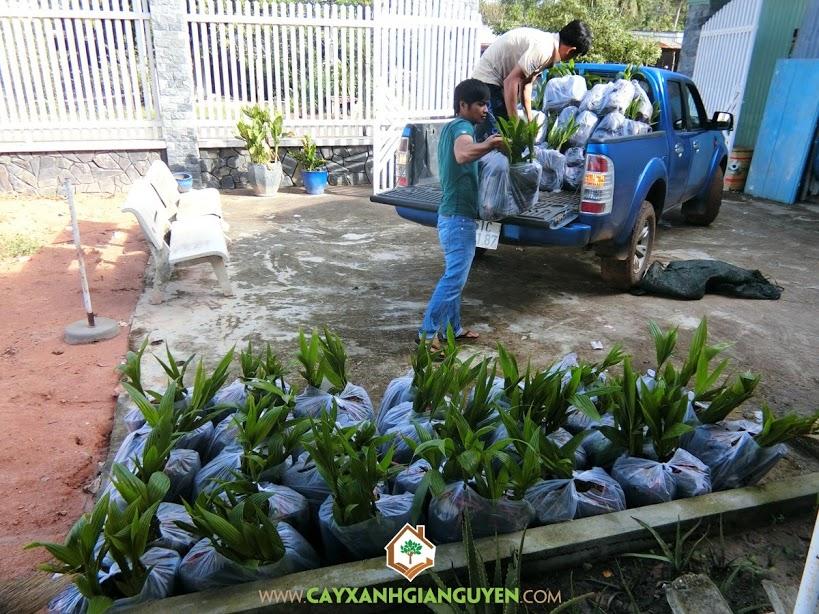 Dừa xiêm lùn xanh, Cây ăn trái, Vườn ươm Cây Xanh Gia Nguyễn, Cây dừa xiêm xanh lùn, Cây dừa xiêm