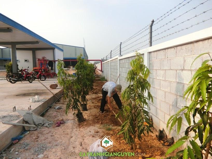 Vườn ươm Cây Xanh Gia Nguyễn, Cây Hoàng Nam, Trồng cây Hoàng Nam, Hoàng Nam, Cây giống