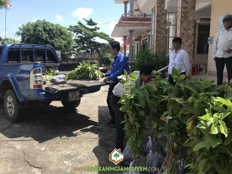 Cây giống, Vườn ươm Cây Xanh Gia Nguyễn, Kỹ thuật chăm sóc cây con, Cây bằng lăng, Cây dừa xiêm lùn