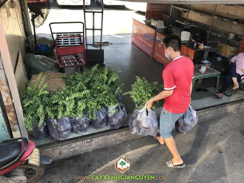 Cây chùm ruột, Cây giống chùm ruột, Vườn ươm Cây Xanh Gia Nguyễn, Cây tầm ruột, Giống cây