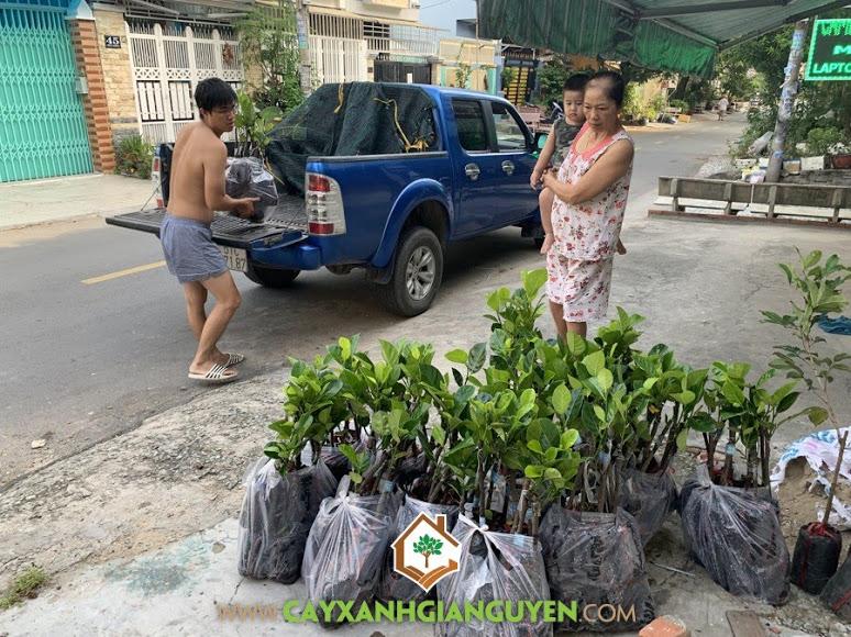 Cây mít ruột đỏ, Giống mít, Giống mít ruột đỏ Thái Lan, Vườn ươm Cây Xanh Gia Nguyễn, Giống mít, Mít ruột đỏ