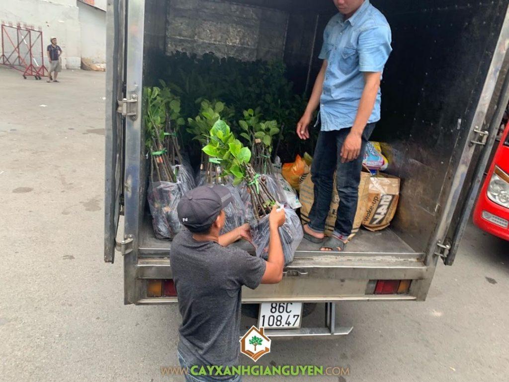 Cây mít không hạt, Giống mít, Mít không hạt, Công ty Cây xanh Gia Nguyễn, Cây mít giống không hạt, Vườn ươm Cây Xanh Gia Nguyễn